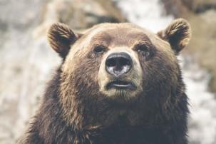 animal-brown-bear-dangerous-2740-w1920